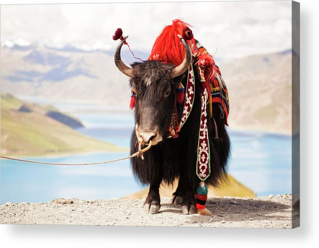 Horned Acrylic Print featuring the photograph Decorated Yak At Gamta Pass by Merten Snijders