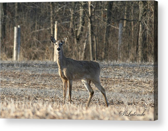 Deer Acrylic Print featuring the photograph Deer In Field by Sarah Lalonde
