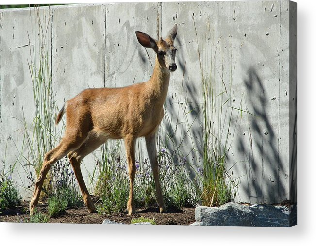 Deer Acrylic Print featuring the photograph Deer On A Walkabout by Nicki Bennett