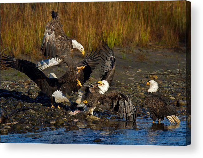 Bald Eagle Acrylic Print featuring the photograph Dive Bomber by Shari Sommerfeld