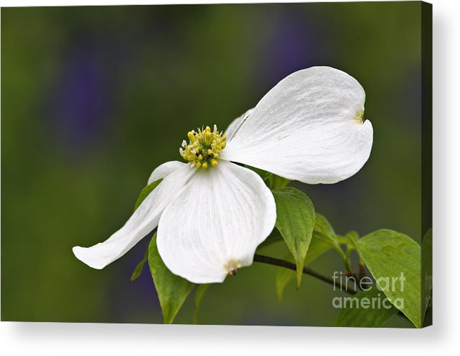 Eastern Acrylic Print featuring the photograph Dogwood Blossom - D001797 by Daniel Dempster