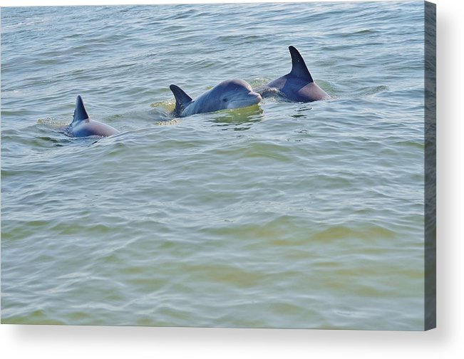 Dolphin Acrylic Print featuring the photograph Dolphins 2 by William Morgan
