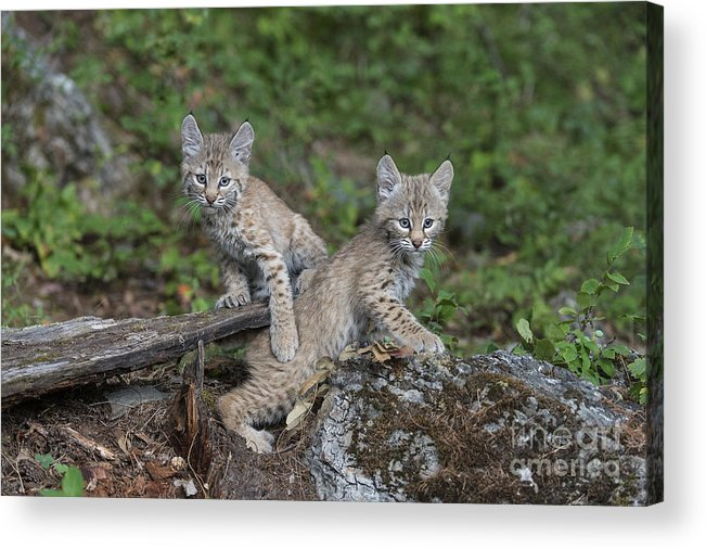 Animals Acrylic Print featuring the photograph Double Trouble by Sandra Bronstein