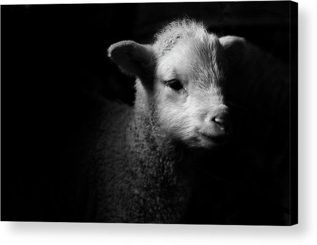 Animal Themes Acrylic Print featuring the photograph Dramatic Lamb Black & White by Michael Neil O'donnell