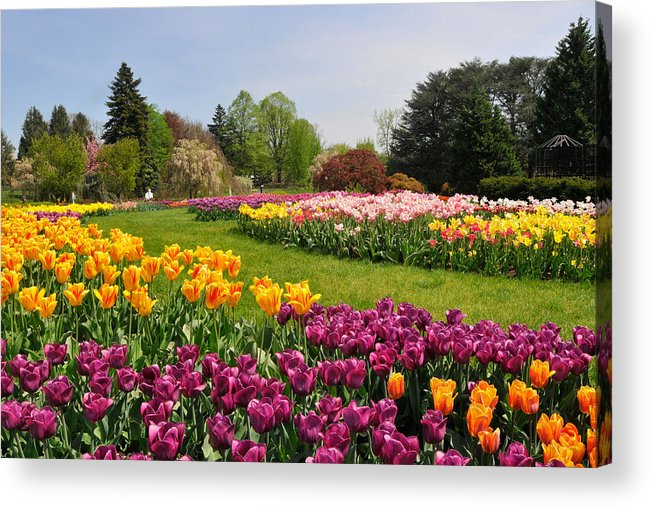 Tulips Acrylic Print featuring the photograph Dreaming Of Spring by Dan Myers