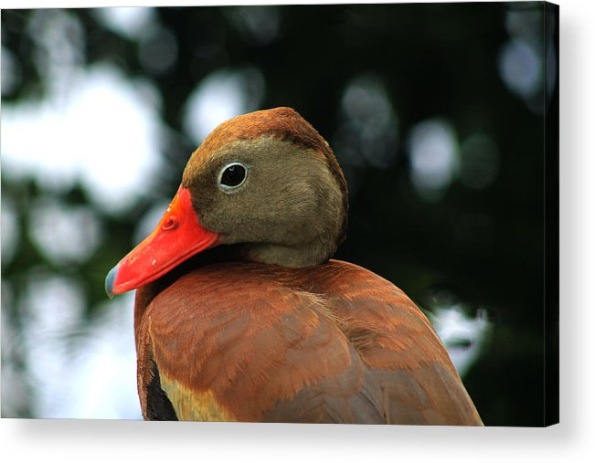 Duck Acrylic Print featuring the photograph Duck Call by Elijah Gomez