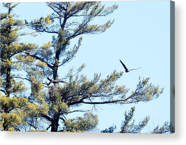 Bald Eagle Acrylic Print featuring the photograph Eagle Nest by Thomas Phillips