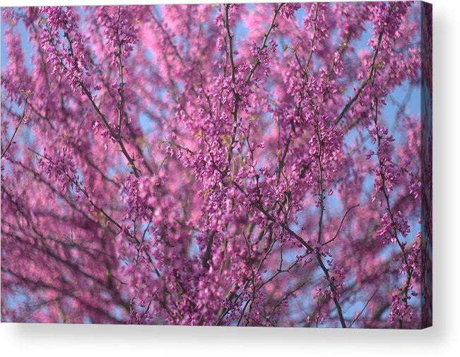 Early Spring Acrylic Print featuring the photograph Early Spring Flowering Redbud Tree by Suzanne Powers