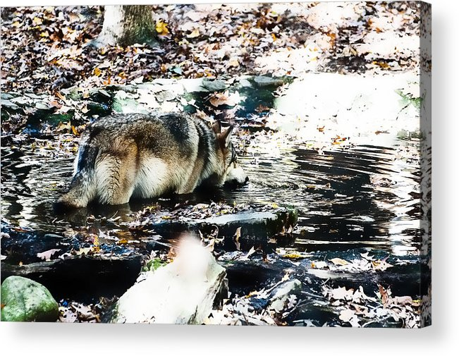Wolf Acrylic Print featuring the photograph Eat Drink Play by Sheri Bartoszek