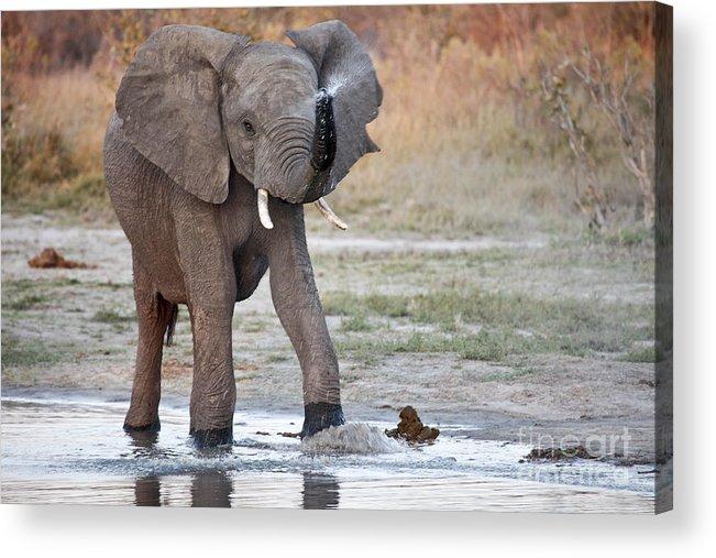 African Elephant Acrylic Print featuring the photograph Elephant Calf Spraying Water by Liz Leyden