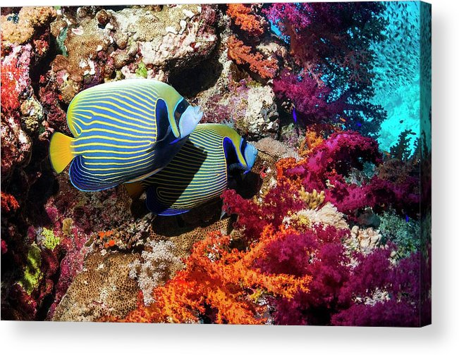 Nobody Acrylic Print featuring the photograph Emperor Angelfish On A Reef by Georgette Douwma