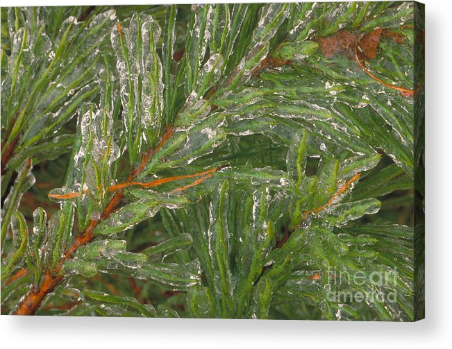 Evergreen Acrylic Print featuring the photograph Evergreen Covered In Ice by David N. Davis