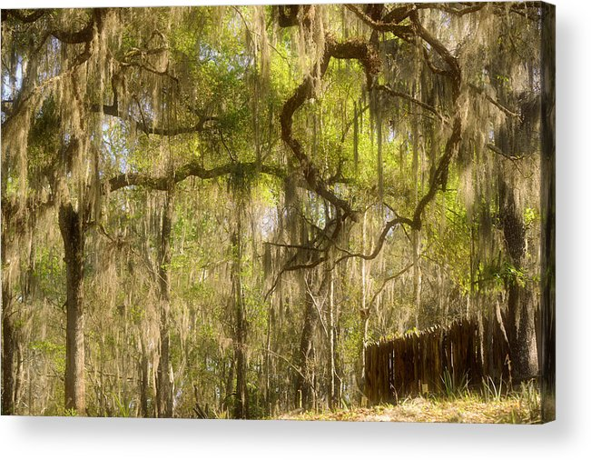 Spanish Acrylic Print featuring the photograph Fabulous Spanish Moss by Christine Till