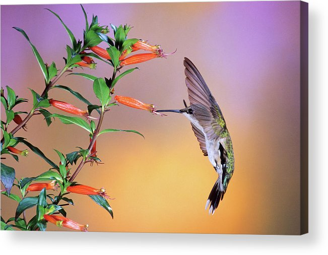 Photography Acrylic Print featuring the photograph Female Ruby-throated Hummingbird by Animal Images