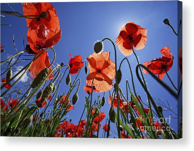 Tranquil Scene Acrylic Print featuring the photograph Field Of Poppies At Spring by Sami Sarkis