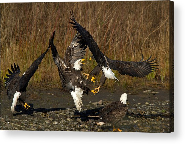 Bald Eagle Acrylic Print featuring the photograph Fight Time by Shari Sommerfeld