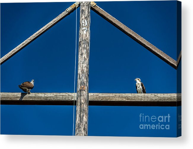 Osprey Acrylic Print featuring the photograph Fish Envy by Dale Powell