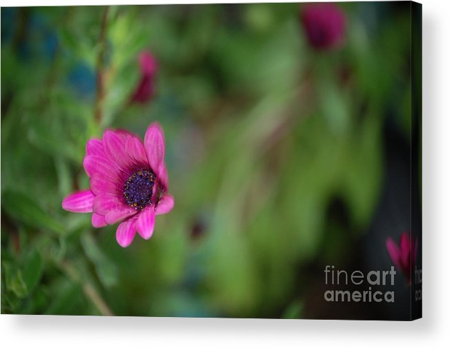 Flower Acrylic Print featuring the photograph Flower Bokeh by Jordan Rusin