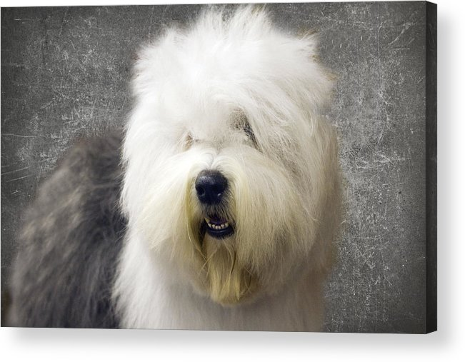 Sheep Dog Acrylic Print featuring the photograph Fluff Face by Rebecca Cozart