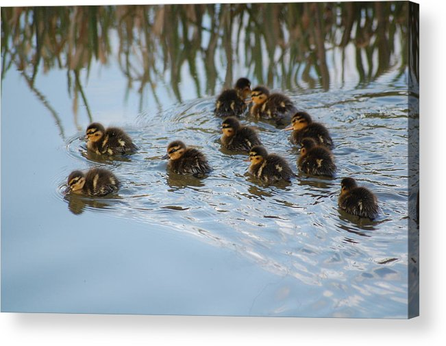 Ducklings Acrylic Print featuring the photograph Follow The Leader by Harvey Scothon
