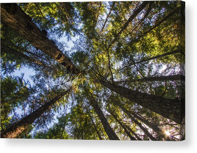 Alaska Acrylic Print featuring the photograph Forest Canopy by Kyle Lavey