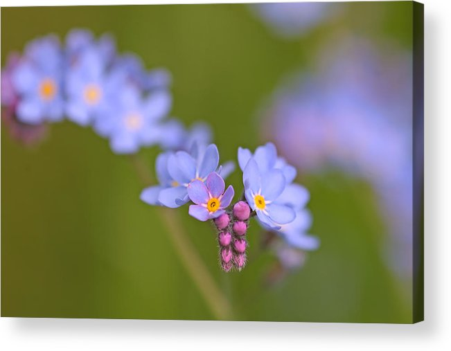 Forget Me Nots Acrylic Print featuring the photograph Forget Me Nots by Peggy Collins