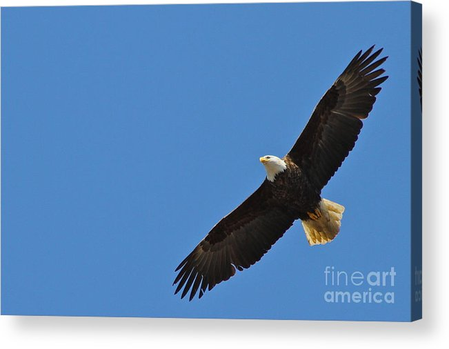 Eagle Acrylic Print featuring the photograph Freedom by Rick Monyahan