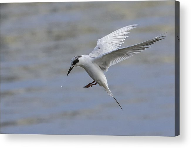 Tern Acrylic Print featuring the photograph Full Stall by Charles Warren