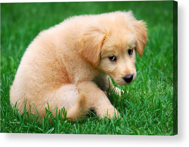 Puppy Acrylic Print featuring the photograph Fuzzy Golden Puppy by Christina Rollo
