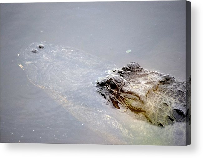 Alligator Acrylic Print featuring the photograph Gator Profile 1 by Sheri McLeroy