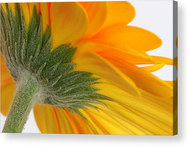 Gerbera Acrylic Print featuring the photograph Gerbera by Shirley Mitchell