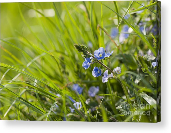 Back Acrylic Print featuring the photograph Germander Speedwell by Anne Gilbert
