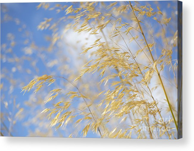 Seed Pods Acrylic Print featuring the photograph Giant Feather Grass by Tim Gainey