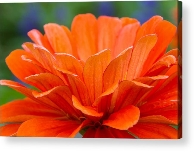 Orange Acrylic Print featuring the photograph Glorious Orange by Lindley Johnson