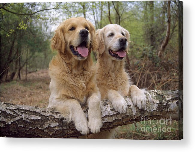 Golden Retriever Acrylic Print featuring the photograph Golden Retriever Dogs by John Daniels