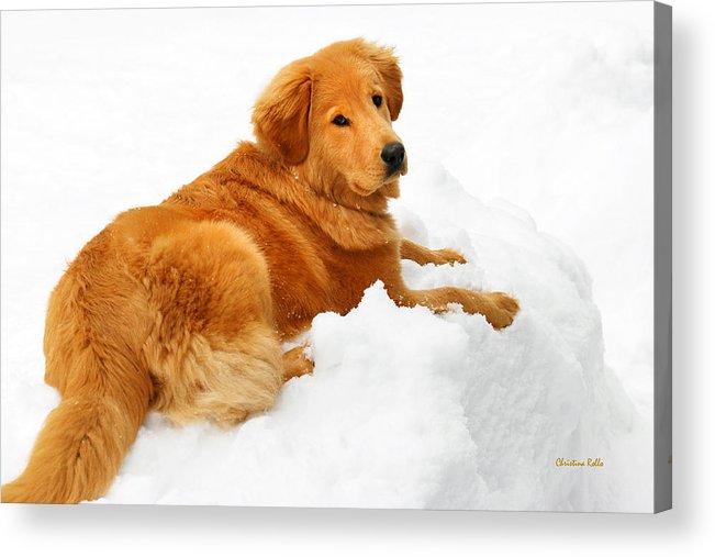 Golden Retriever Acrylic Print featuring the photograph Golden Retriever Snowball by Christina Rollo