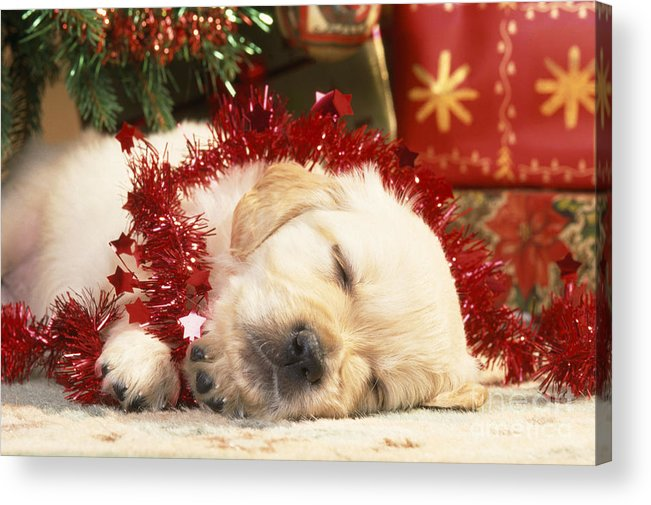 Golden Retiever Acrylic Print featuring the photograph Golden Retriever Under Christmas Tree by John Daniels
