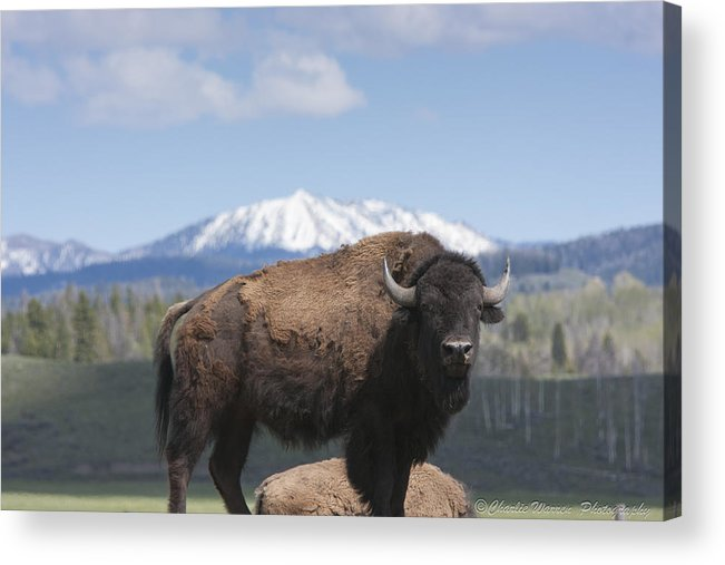 Bison Acrylic Print featuring the photograph Grand Tetons Bison by Charles Warren