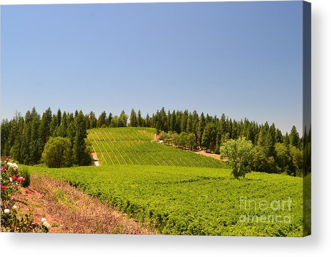 Wine Acrylic Print featuring the photograph Grape Vines Apple Hill by Michael Inscoe