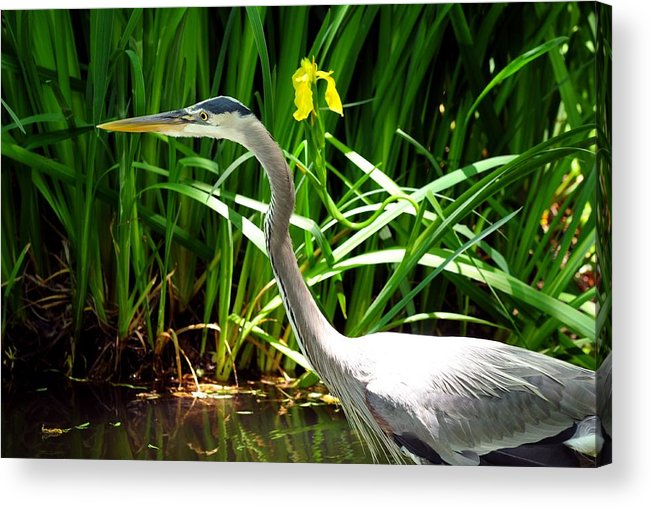 Texas Acrylic Print featuring the photograph Great Blue Heron By Yellow Flower by Marilyn Burton