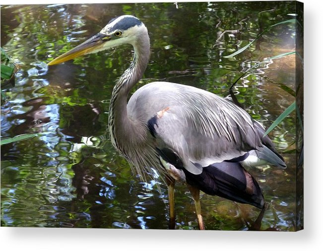 Texas Acrylic Print featuring the photograph Great Blue Heron - Colorful Reflections by Marilyn Burton