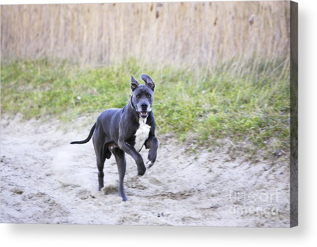Great Dane Acrylic Print featuring the photograph Great Dane by M. Watson