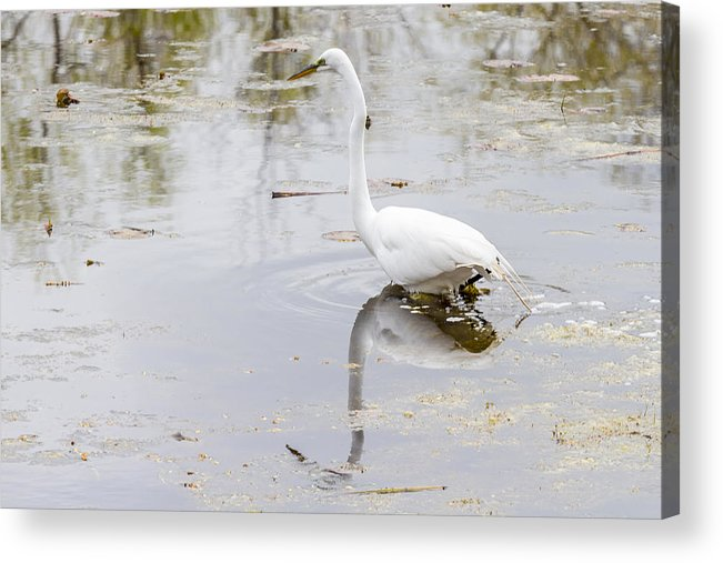 Alba Acrylic Print featuring the photograph Great Egret by Jack R Perry