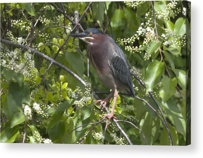 Broad-leaved Cattail Acrylic Print featuring the photograph Green Heron by Jim Walker