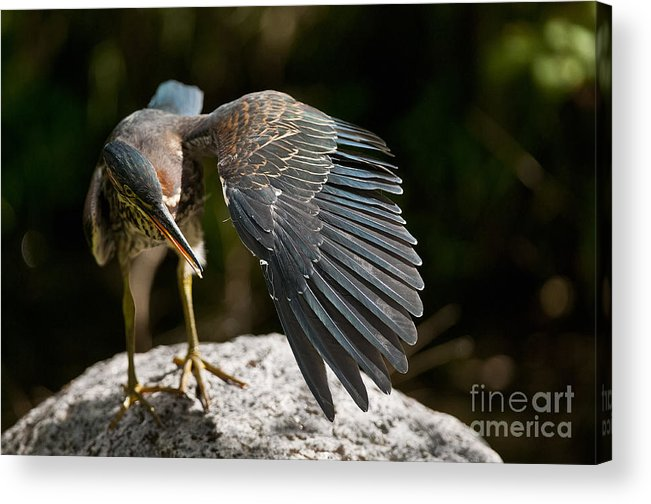 Green Heron Acrylic Print featuring the photograph Green Heron Pictures 382 by World Wildlife Photography