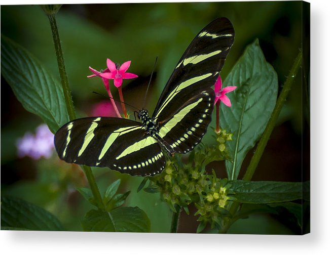 Butterfly Acrylic Print featuring the photograph Green Without Envy by Louis Rivera