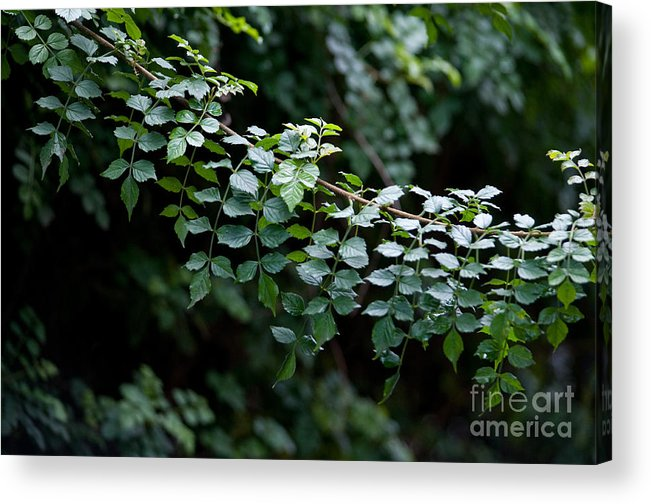 Green Acrylic Print featuring the photograph Greens by Dan Holm