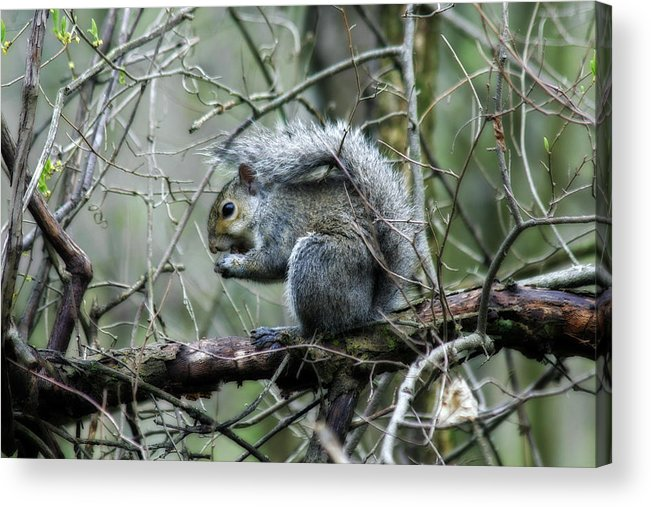 Squirrel Acrylic Print featuring the photograph Grey Squirrel by CE Haynes