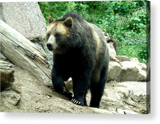 Colorado Zoo Acrylic Print featuring the photograph Grizzly Bear by Marilyn Burton