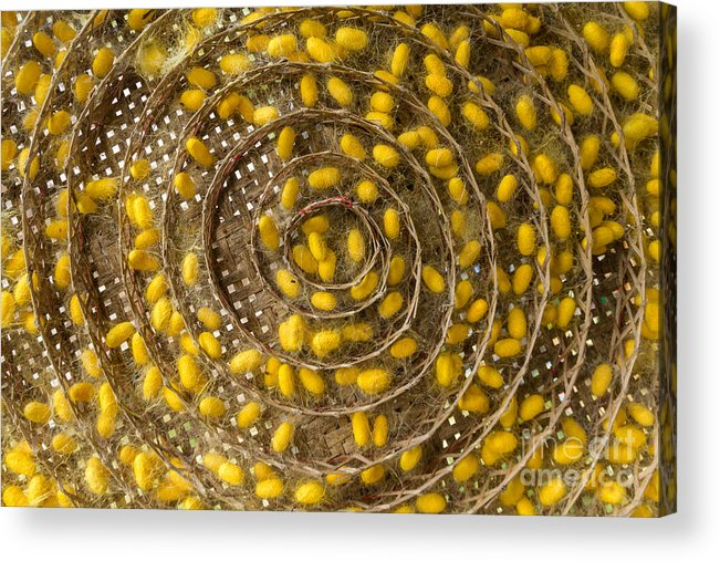 Animal Acrylic Print featuring the photograph Group Of Silk Worm Cocoons by Tosporn Preede